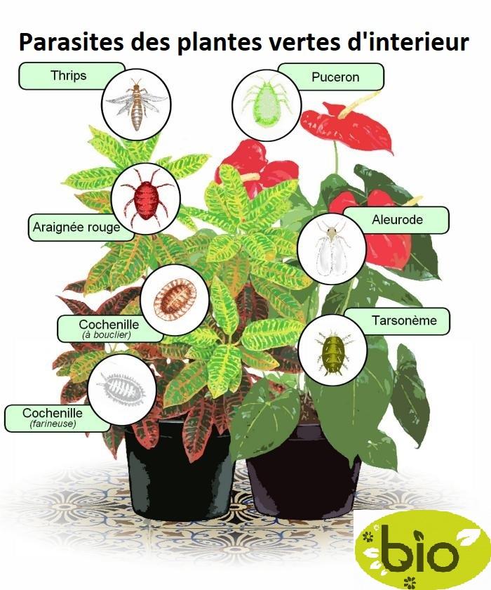 parasites-plantes-interieur